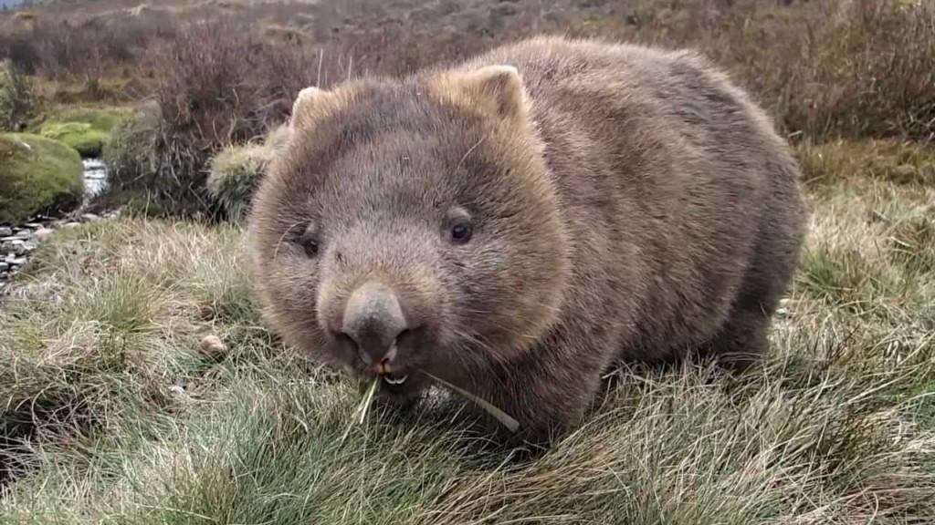 wombat raya