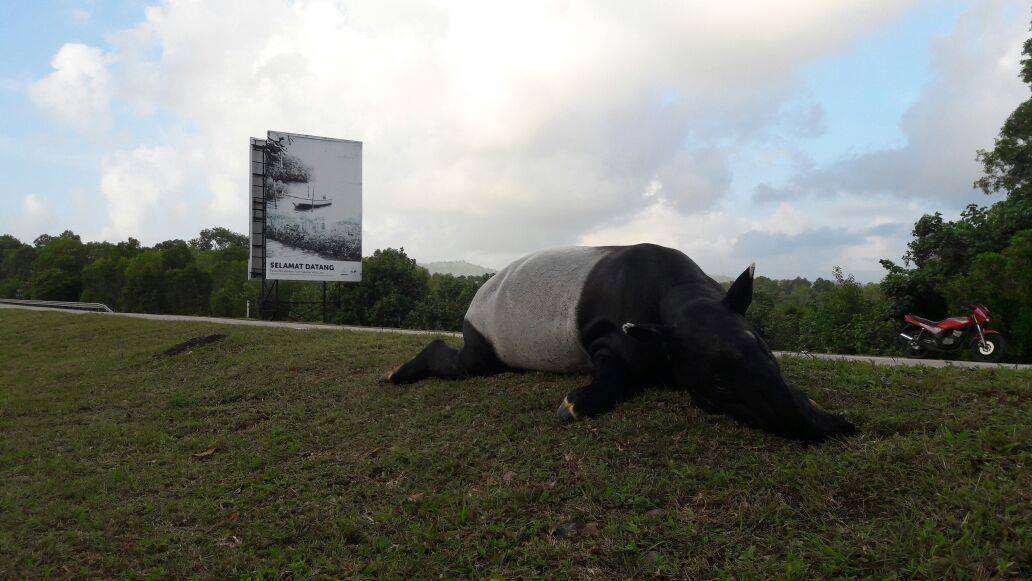 Yet Another Tapir Was Killed By A Vehicle While Crossing The Road Recently